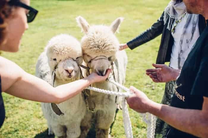 Alpacas at your wedding